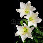 fleurs-de-lys-blanches-bouquet